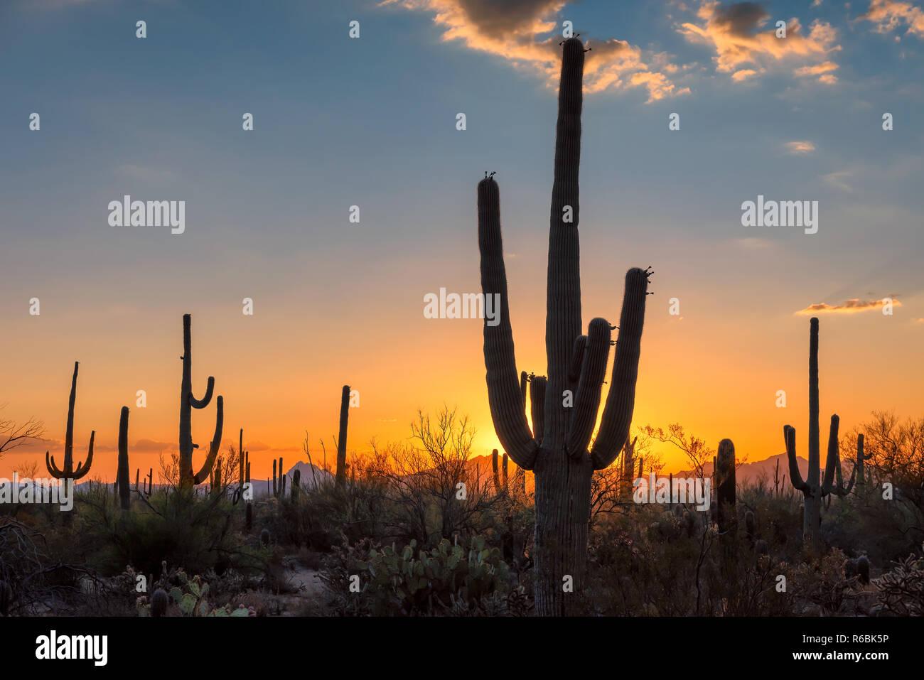 Saguaro-Kaktus bei Sonnenuntergang Stockfoto