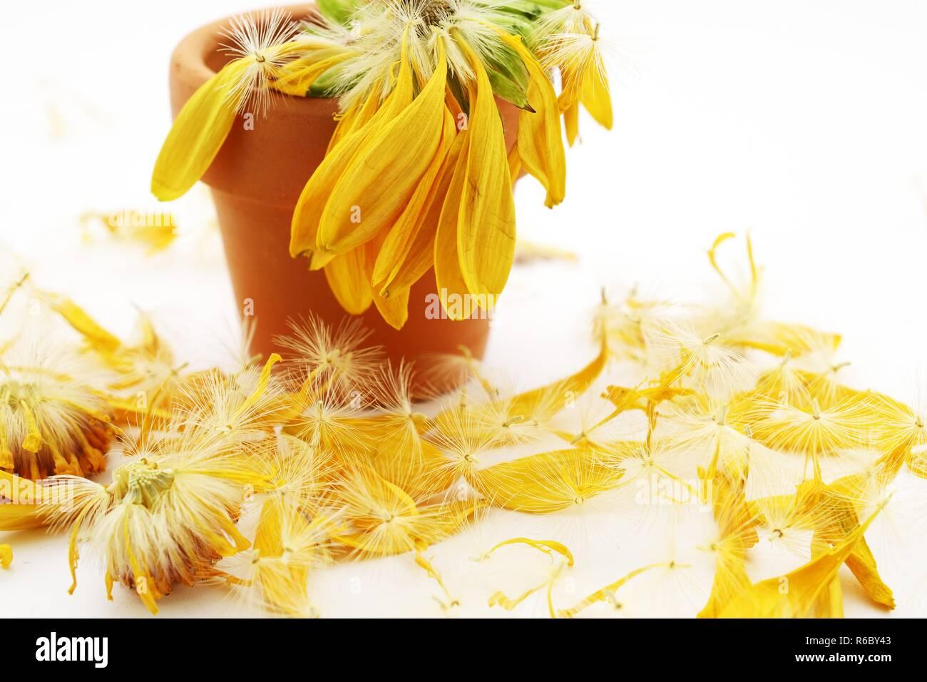Verblasst und geduscht gelbe Blume in einem Tontopf Stockfoto
