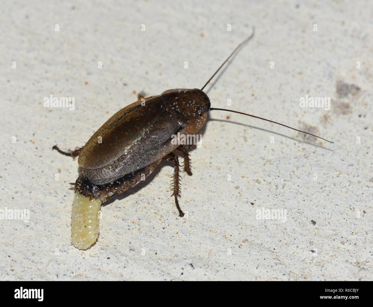 Weibliche Kakerlake Festlegung einer ootheca Ei Fall Stockbild