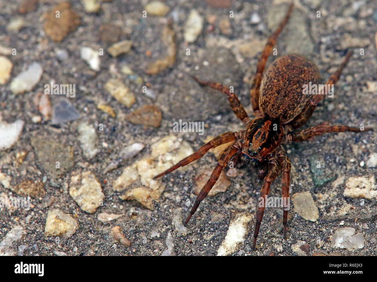 Big wolf spider in Nahaufnahme Stockbild