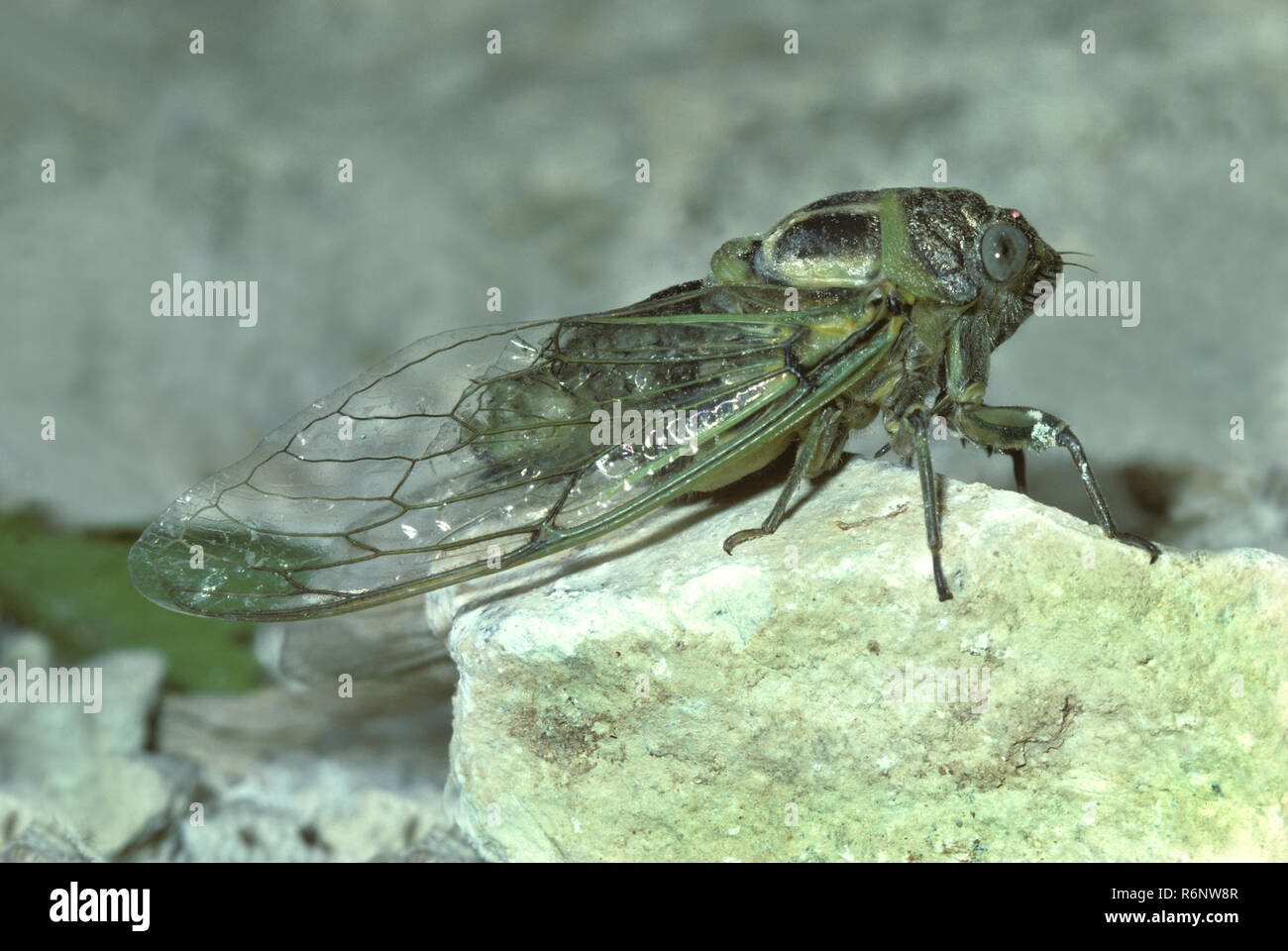 Leafhopper, cicadida spec., auf einem Stein, Kroatien ruhend, Zikade ruht auf einem Stein Stockbild