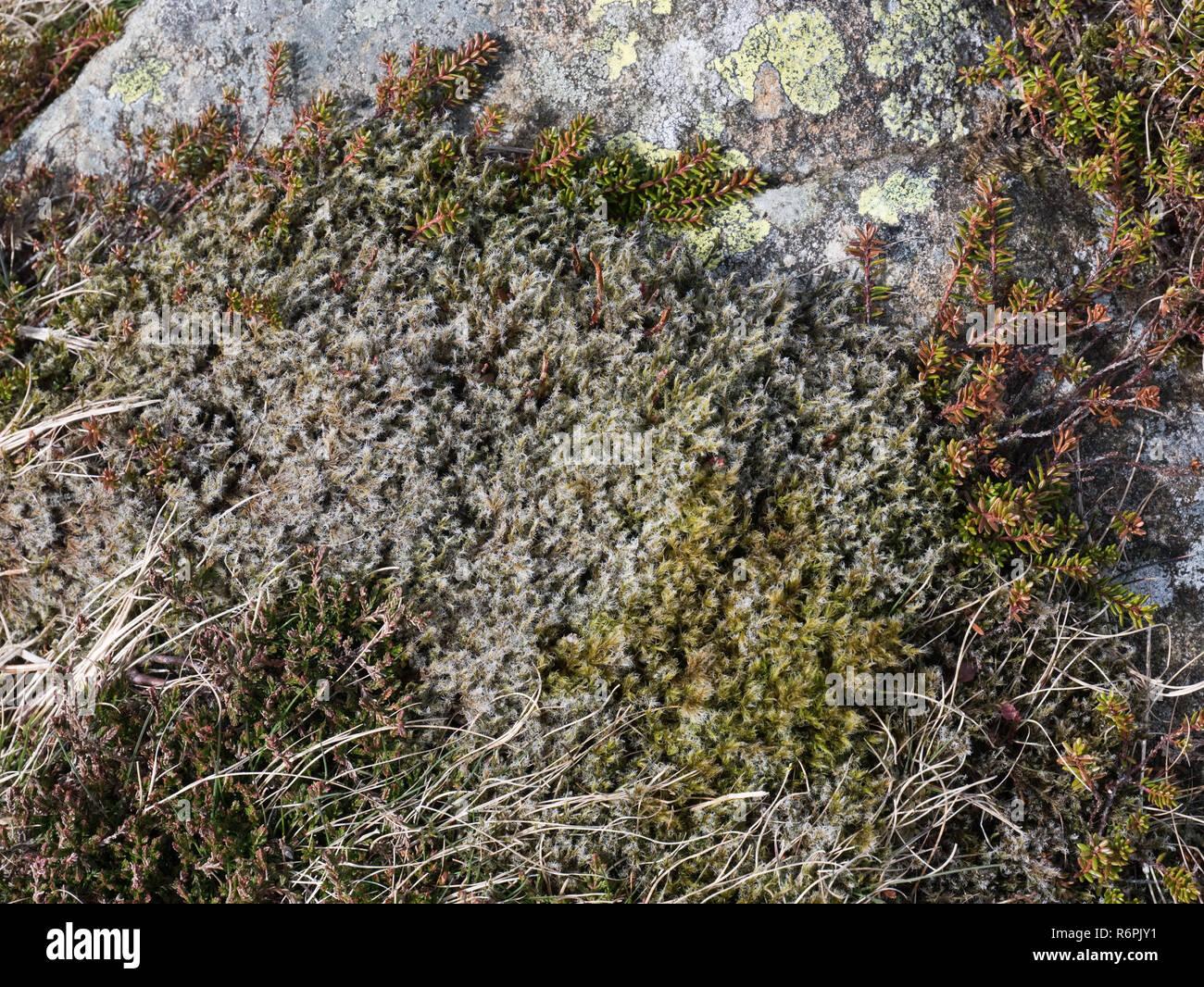 Racomitrium lanuginosum, aka wolliges Haar Moos oder Woolly fringe Moos, eine weit verbreitete montane Arten. Hier auf der Moel Siabod in Snowdonia gesehen Stockbild