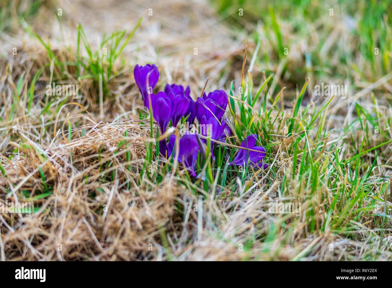 die ersten fr hlingsblumen krokusse crocus sativus auf einer wiese stockfoto bild 228017410. Black Bedroom Furniture Sets. Home Design Ideas