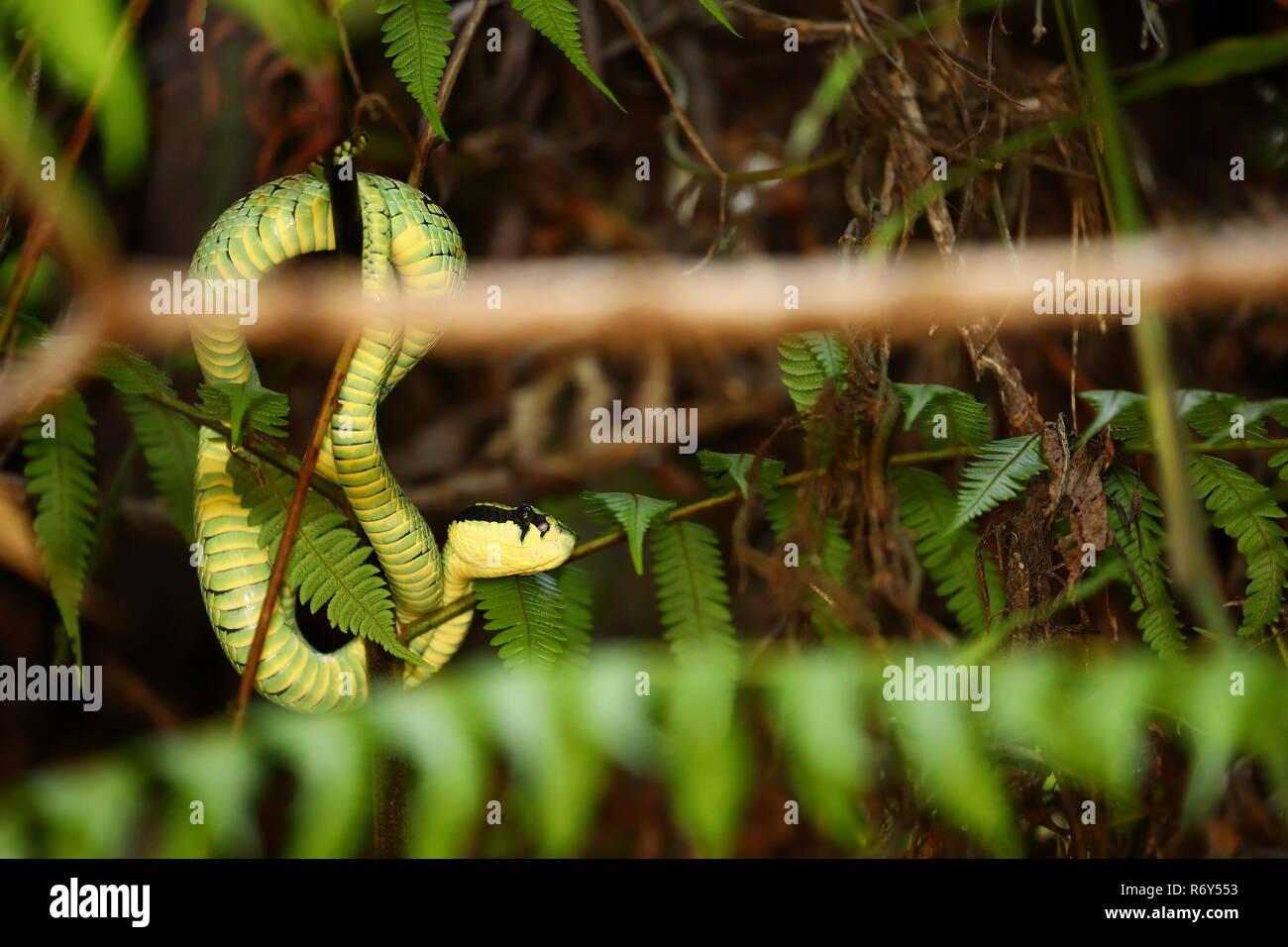 Grune Sri Lanka Bambusotter Stockfoto Bild 228019487 Alamy