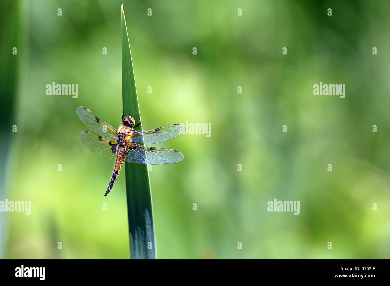 Vier Spots Libelle Libellula quadrimaculata Stockbild