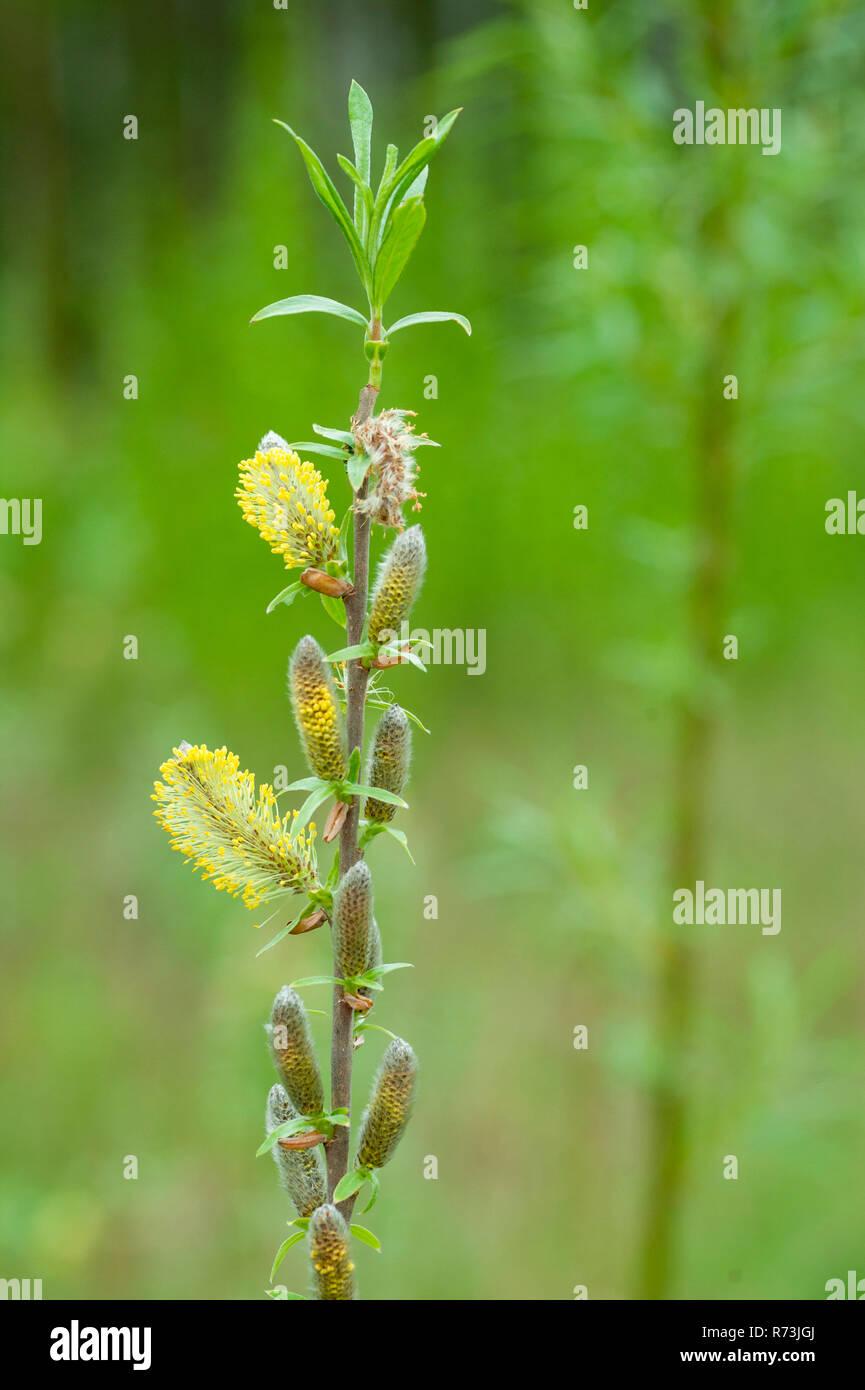 Männlicher Blütenstand, Weiden (Salix spec.), Niederwaldwirtschaft, Schwedt, Brandenburg, Deutschland Stockbild