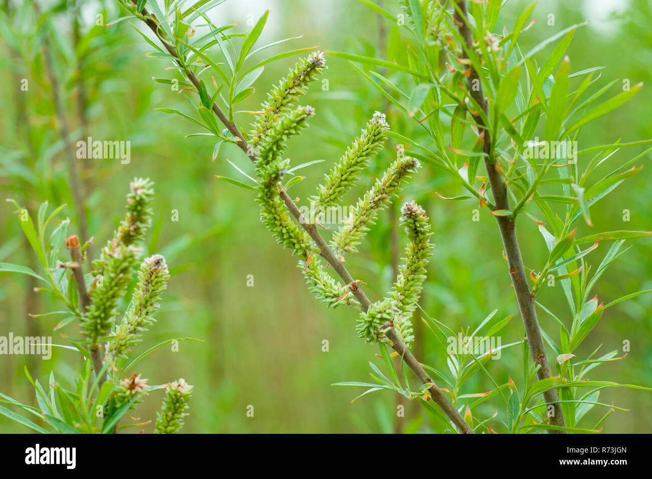 Weiblicher Blütenstand, Weiden (Salix spec.), Niederwaldwirtschaft, Schwedt, Brandenburg, Deutschland Stockbild