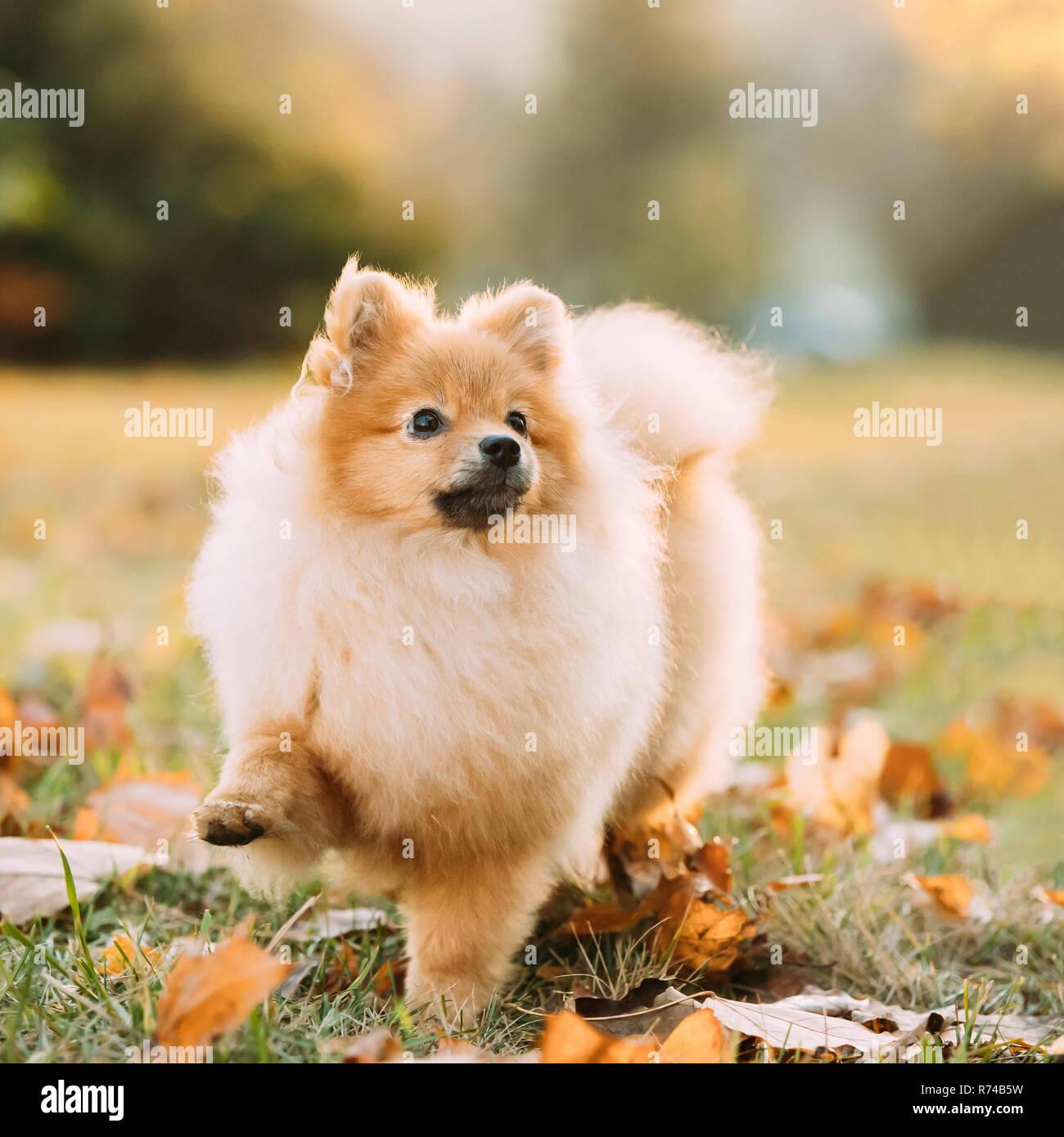 Junge Rote Welpen Pomeranian Spitz Welpe Hund Im Freien Im Herbst