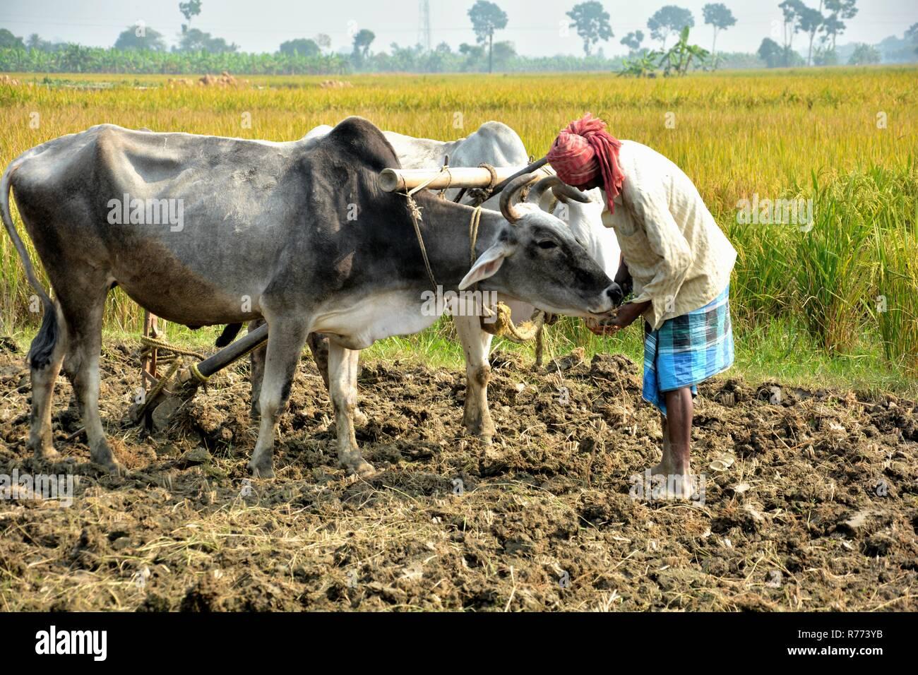 Eine indische Bauern sich anschickt, seine Ochsen zu pflügen, sein Feld zu pflügen, Land von Seite schließen aufgenommen mit Reisfeldern im Hintergrund Stockbild
