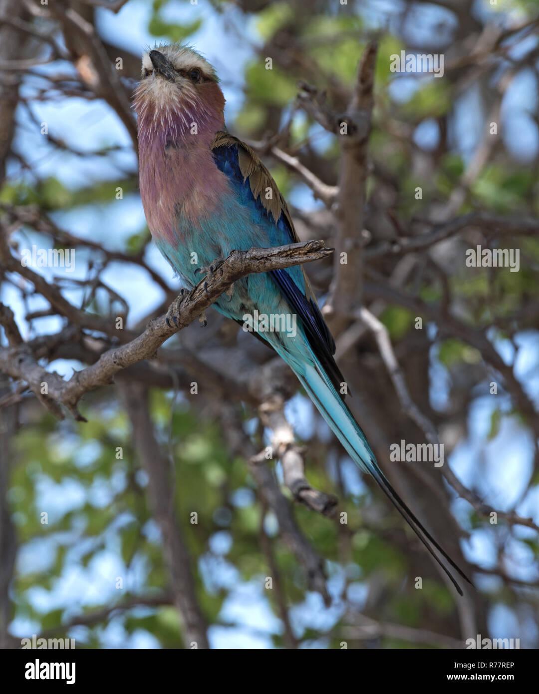 Lilac-breasted Roller auf einem Baum gehockt Stockbild