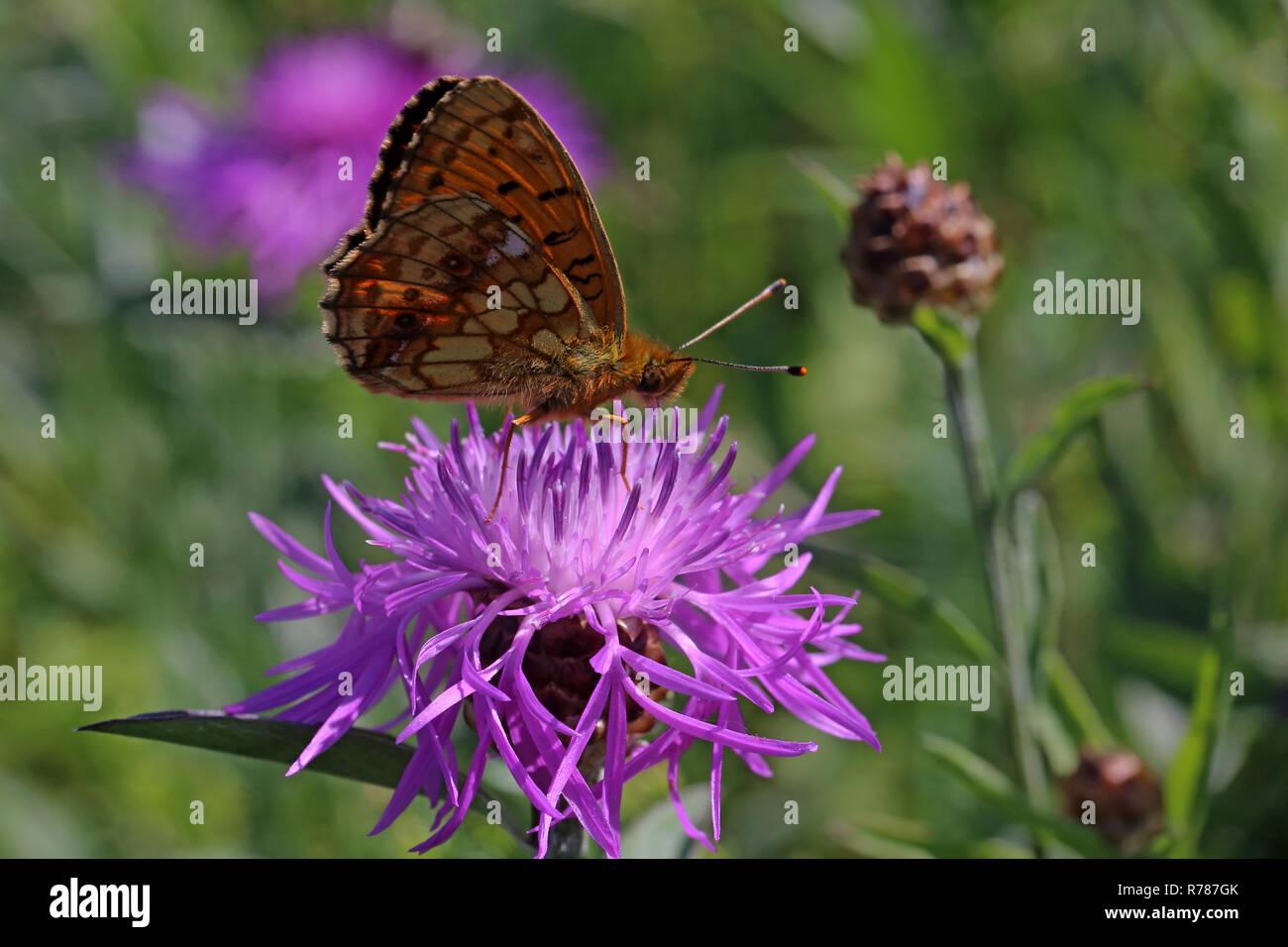 Makro Mädesüß fritillary oder violett Silber Schmetterling brenthis ino Stockbild