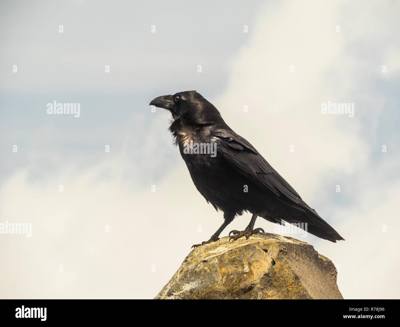 Kolkrabe (Corvus Corax), La Palma, Kanarische Inseln, Spanien Stockfoto