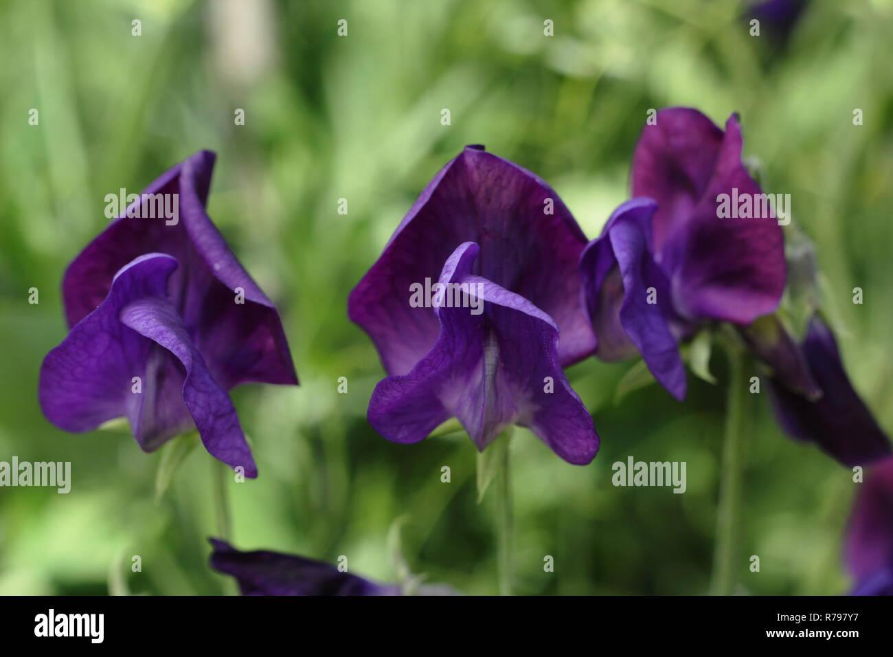 Lathyrus Odoratus. Sweet pea 'Lord Nelson' Blumen in einem Englischen Garten, Sommer, Großbritannien Stockbild