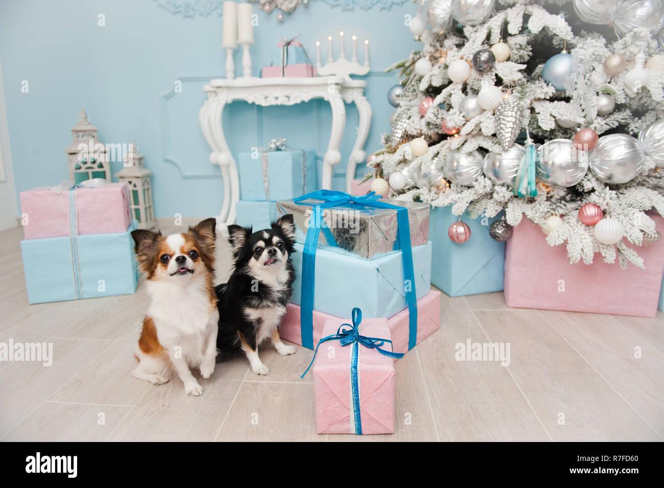 Zwei Susse Kleine Hunde Chihuahua Sitzen In Der Nahe Von Rosa Und