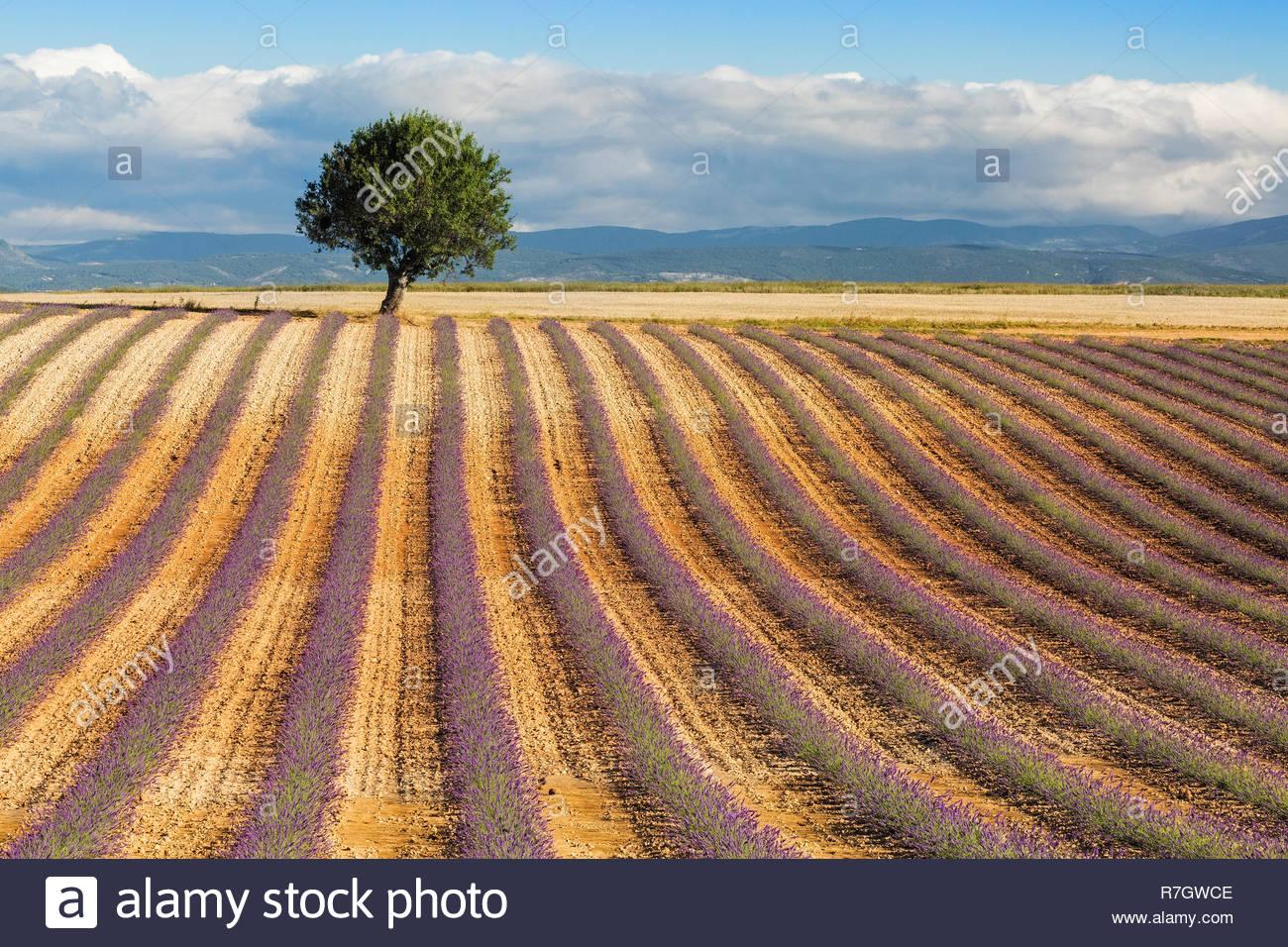 Junge Lavendelfeld in der Provence, Frankreich Stockbild