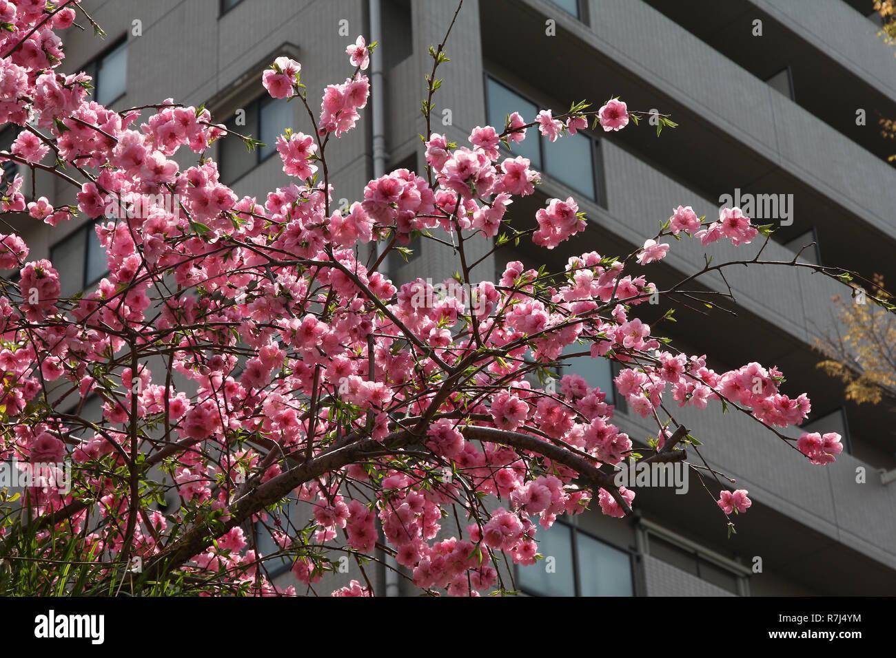 Kyoto, Japan - prunus ume (Japanische Pflaume) Blüte an einem Park Stockbild