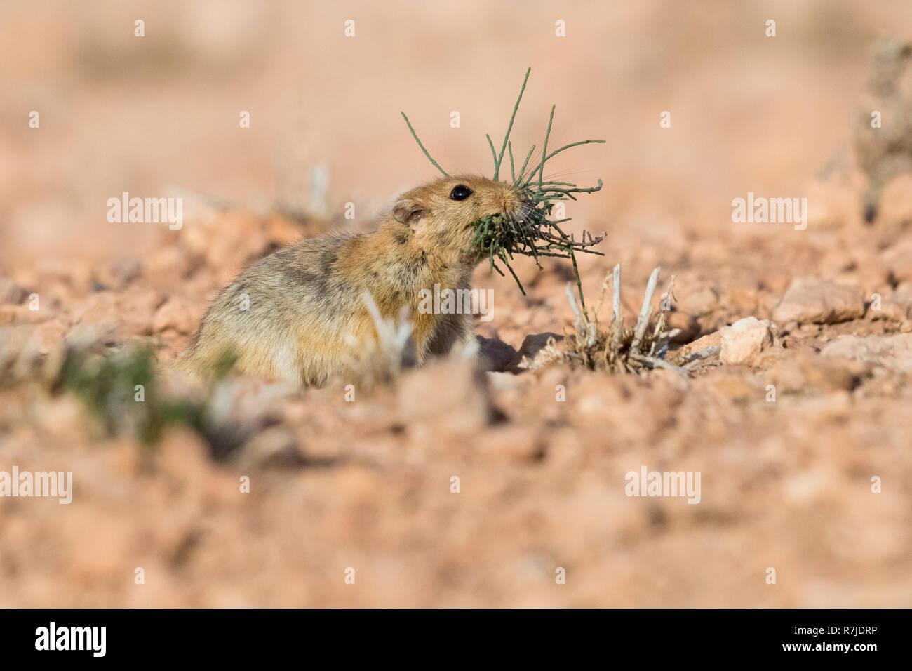 Fat Sand Ratte (Psammomys obesus), Erwachsene mit Gras im Maul Stockbild