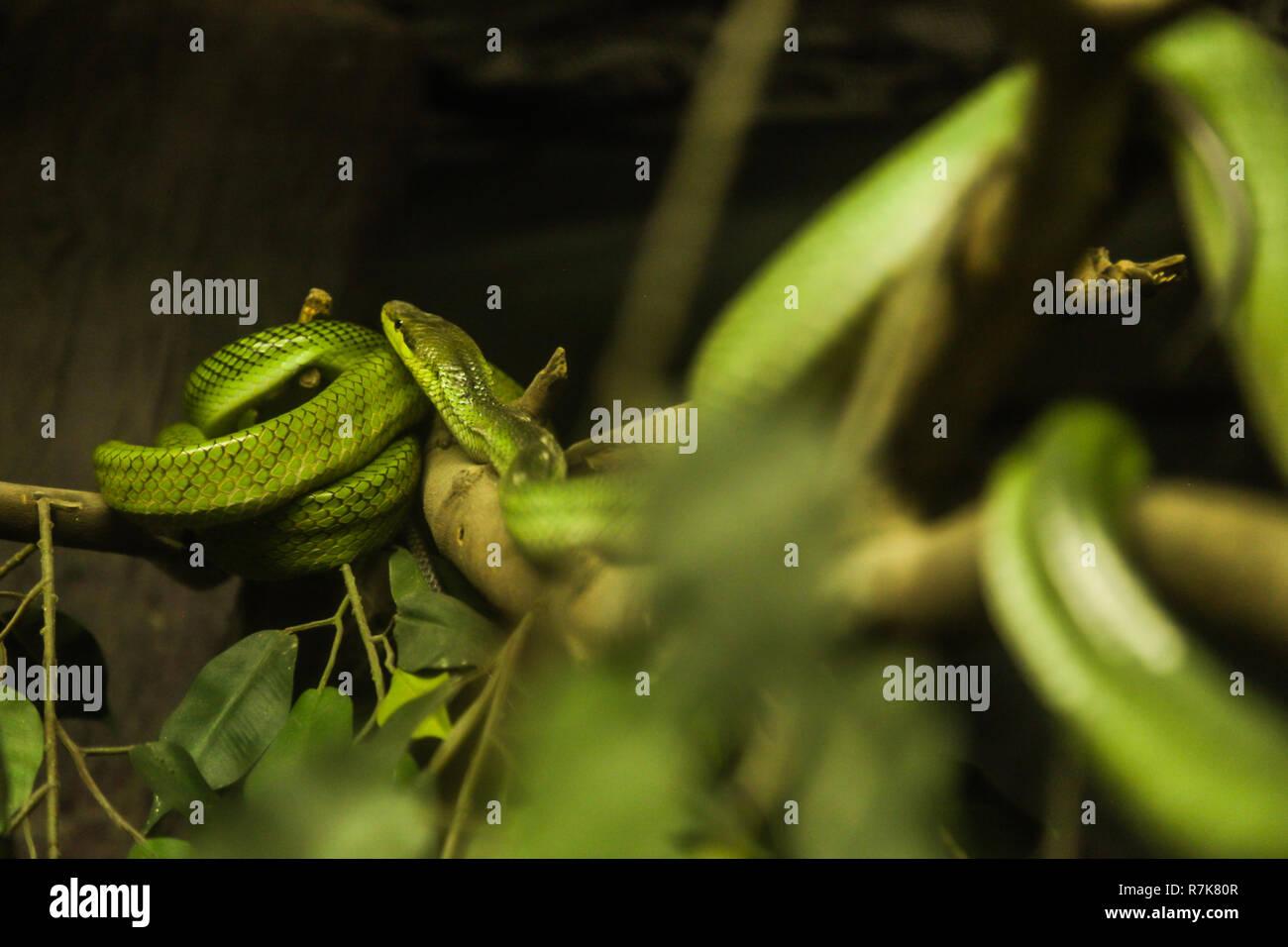 Weiss Lippigen Pit Viper Ist Eine Giftige Bambusotter Arten