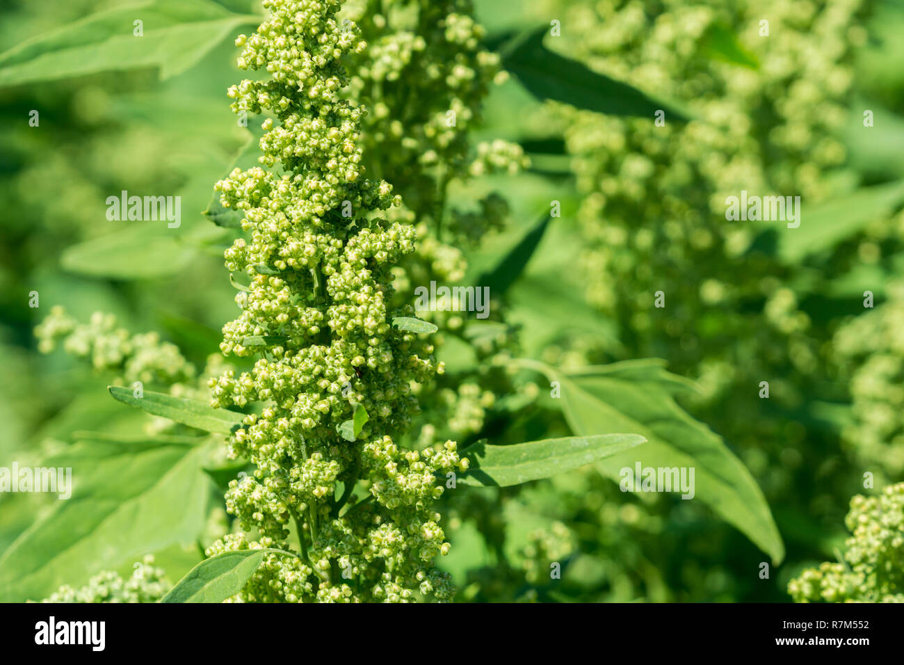 - Nahaufnahme grün Schisandra Album Pflanzen. Stockbild