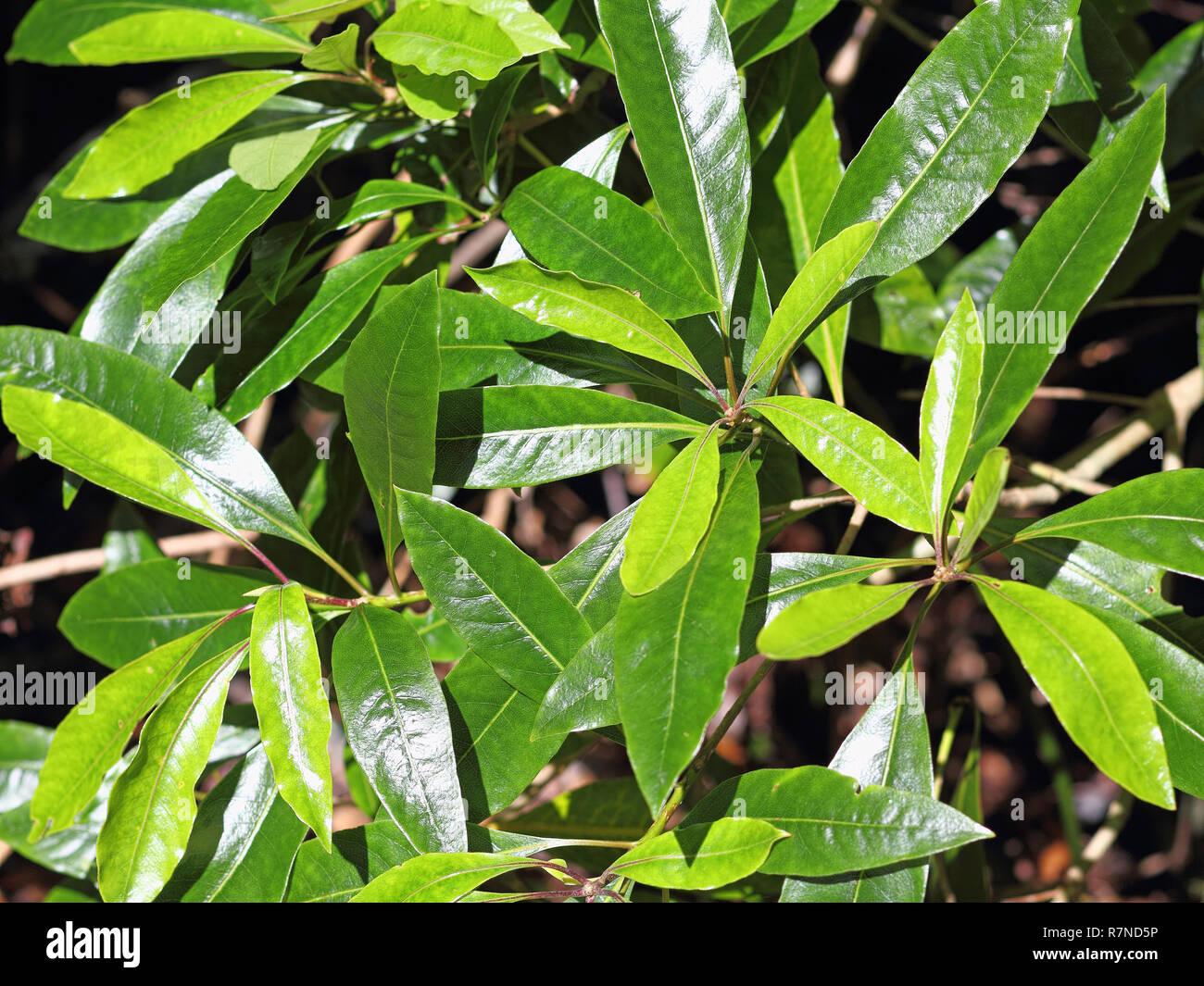 Nahaufnahmen der Blätter von Persea Indica in einem Lorbeerwälder auf Madeira Stockbild