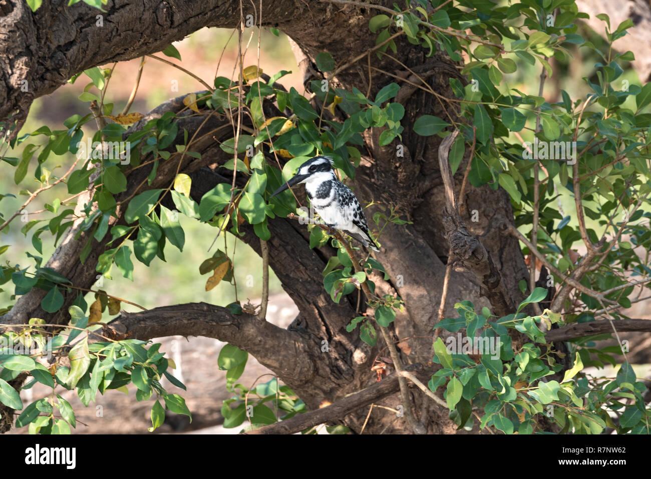 Pied Kingfisher thront auf einem Ast sitzt, Botswana Stockbild