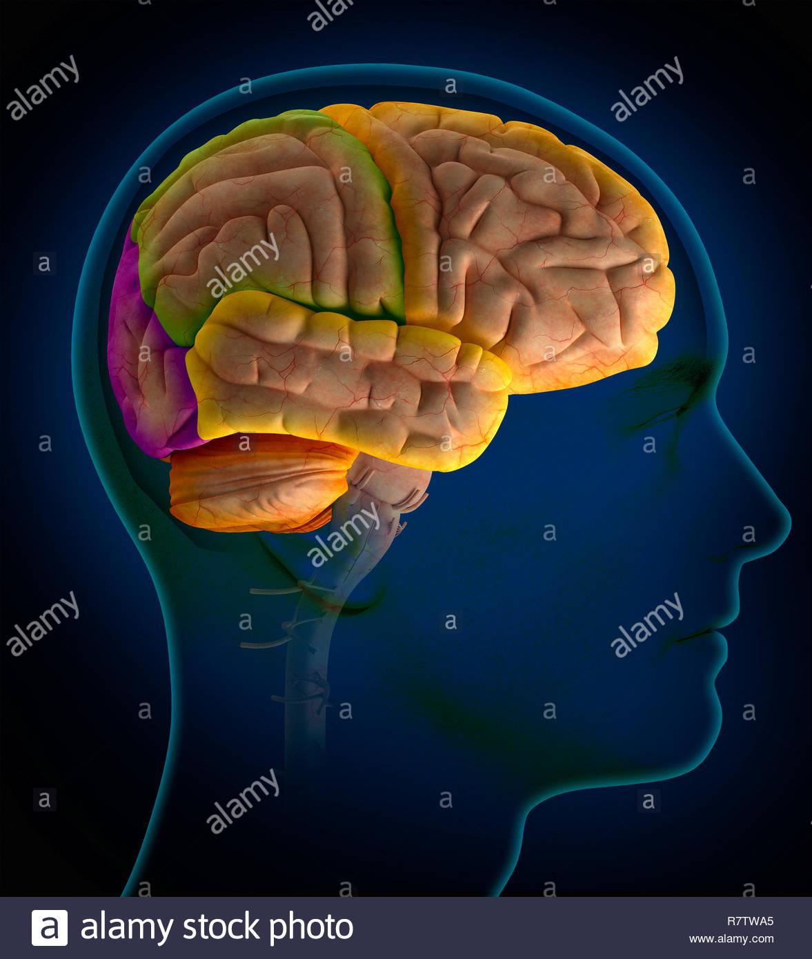 Computer-generierte biomedizinischen Illustration der Lappen des Gehirns innerhalb der menschlichen Kopf Stockbild
