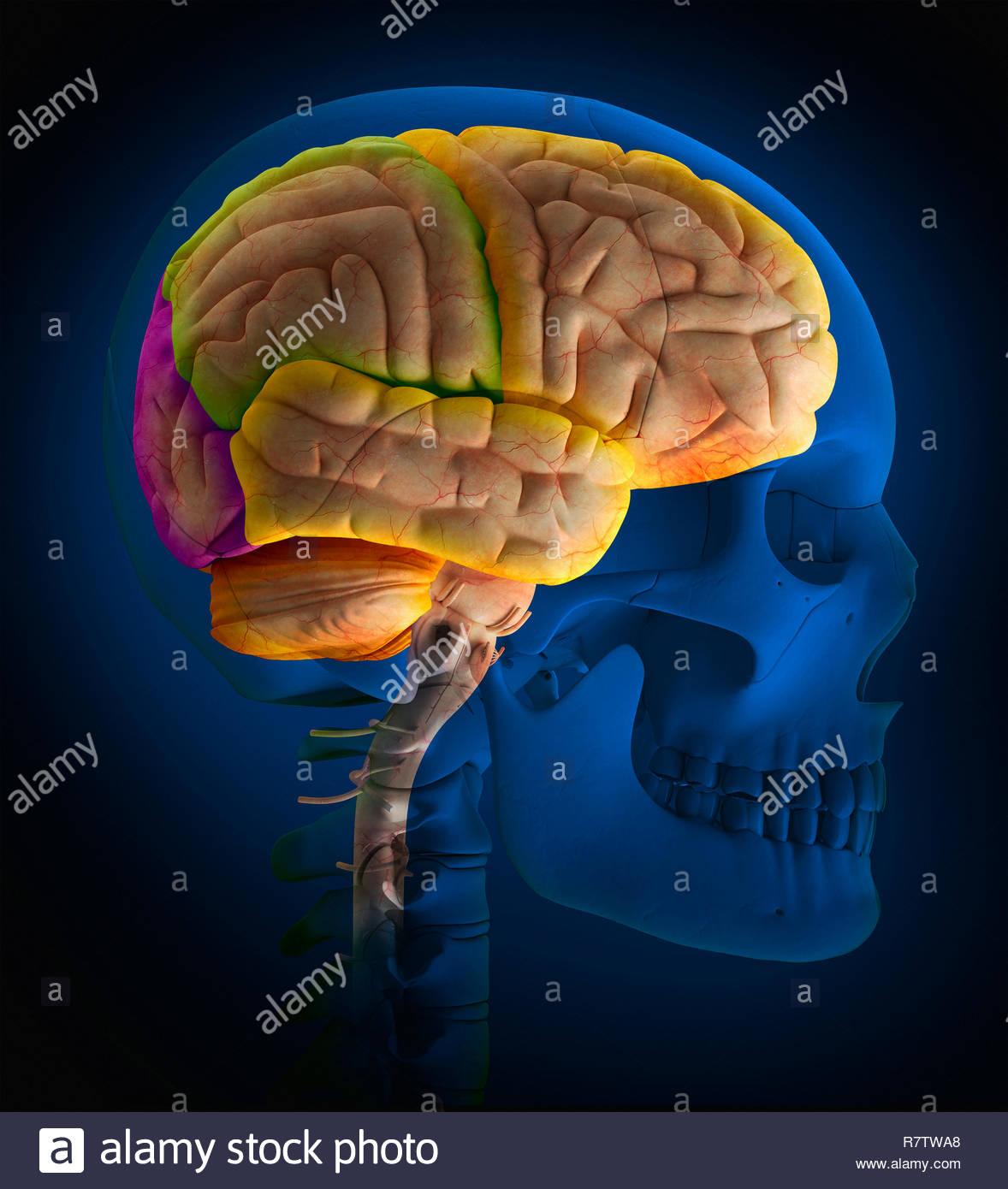 Computer-generierte biomedizinischen Illustration der Schädel und die Nocken des menschlichen Gehirns Stockbild