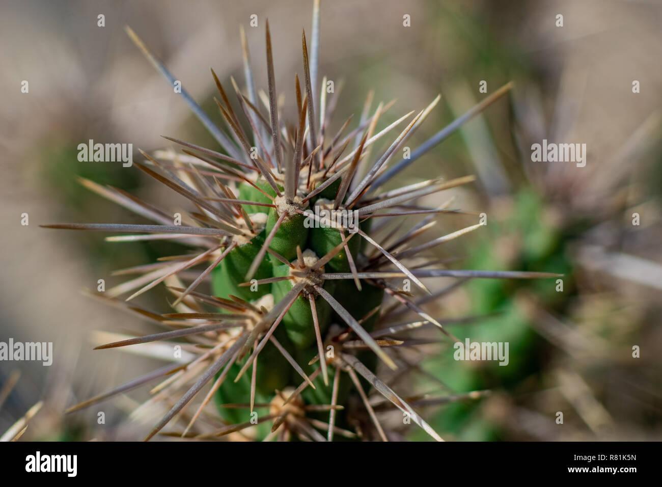 Detaillierte Makro Nahaufnahme eines Kaktus Stockbild