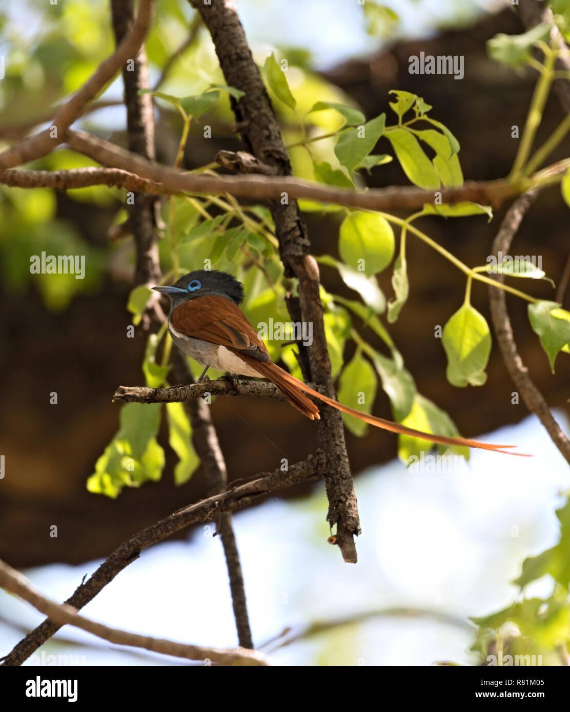 African Paradise Schopftyrann (Terpsiphone viridis) auf einem Ast sitzend Stockbild