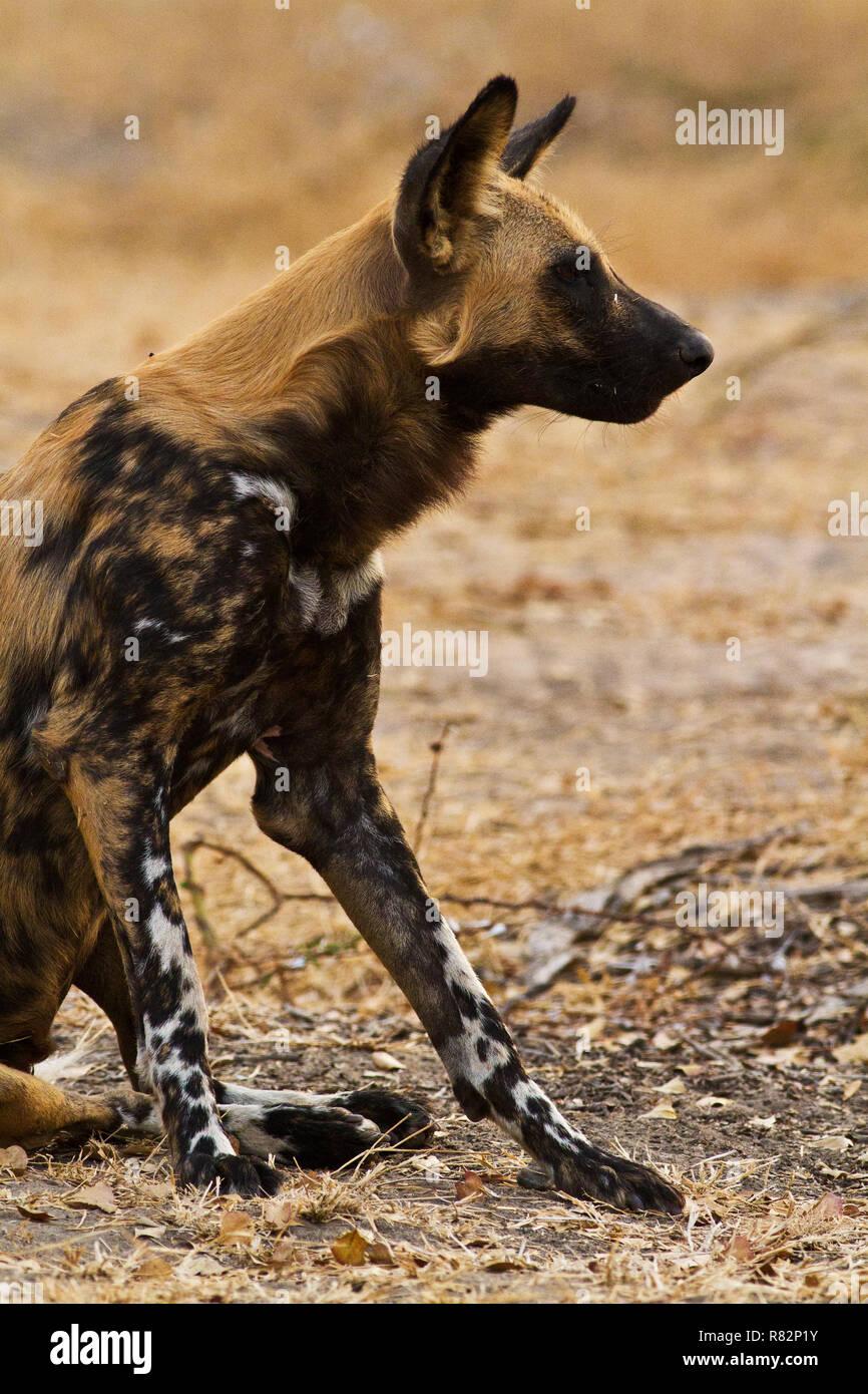 Ein Mitglied der Sewandu Pack bereit, die Höhle, wo Sie während des Tages ausgeruht haben zu verlassen, und nehmen Sie die Jagd nun das Alpha-weibchen hat Signal Sie ist h Stockbild