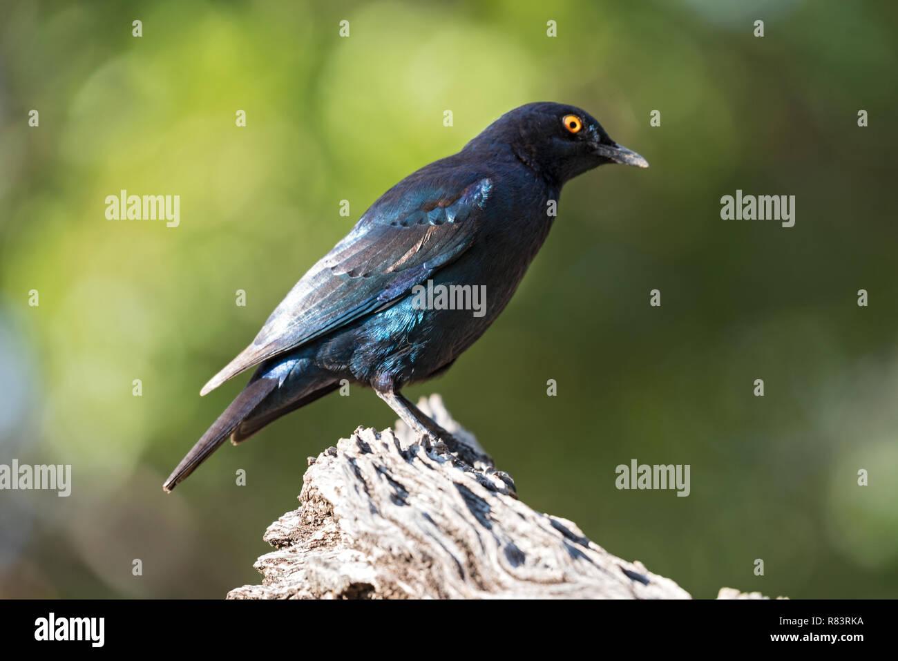 Kap glossy Starling (Lamprotornis nitens) auf eine Niederlassung in Namibia Stockbild