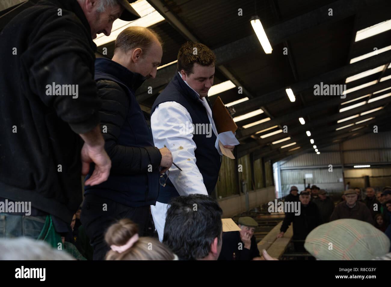 Versteigerer in Aktion Verkauf der preisgekrönten Schafe Llandeilo Weihnachten Mart Stockbild