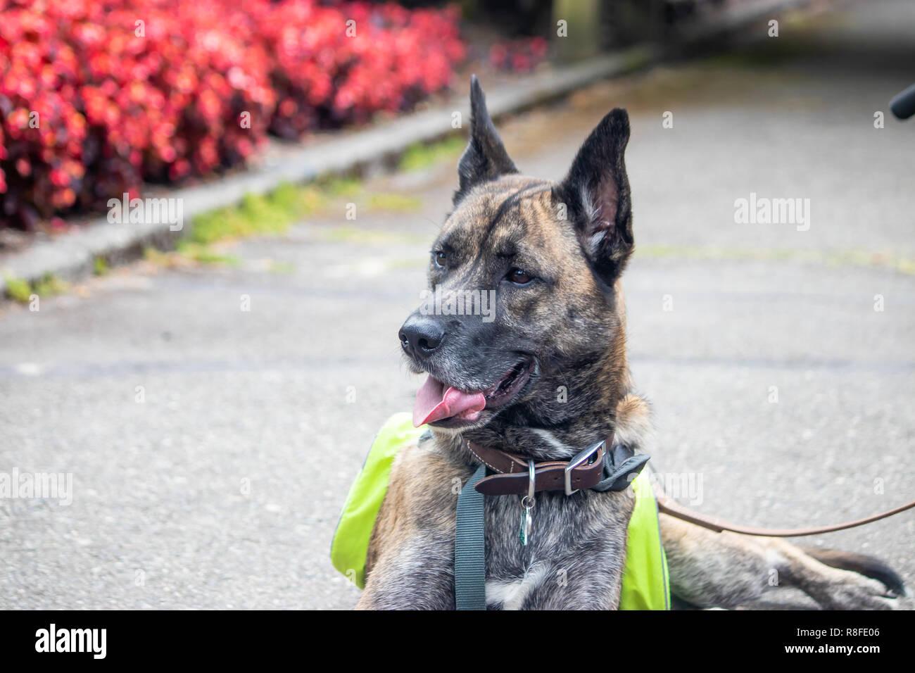Headshot der große Hund auf der Suche nach Links in eine Blume Garten Stockbild