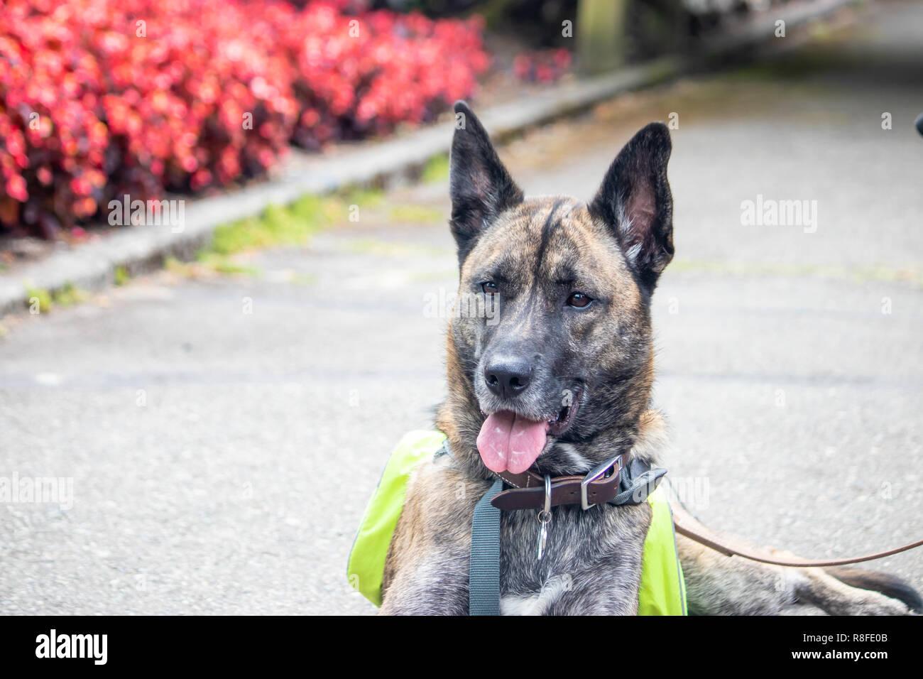 Große gestromten Hund sieht glücklich im Blumengarten im Sommer Stockbild