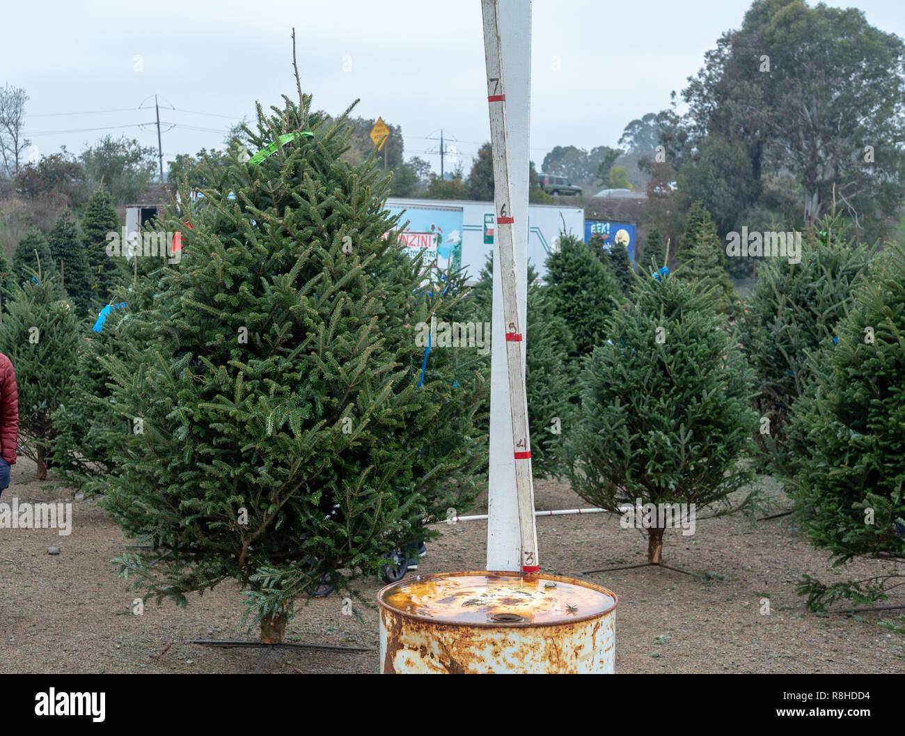 Weihnachtsbaum Markt mit mehreren auf Anzeige zusammen mit Messstab 7 Fuß Stockbild