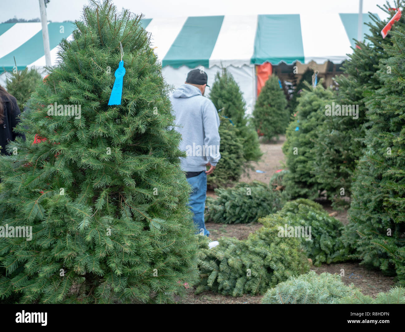Mann in Baseball Cap nicht Weihnachten Xmas Tree Einkaufen in Baum Markt mit Douglas Fir Tree in Vor Stockbild