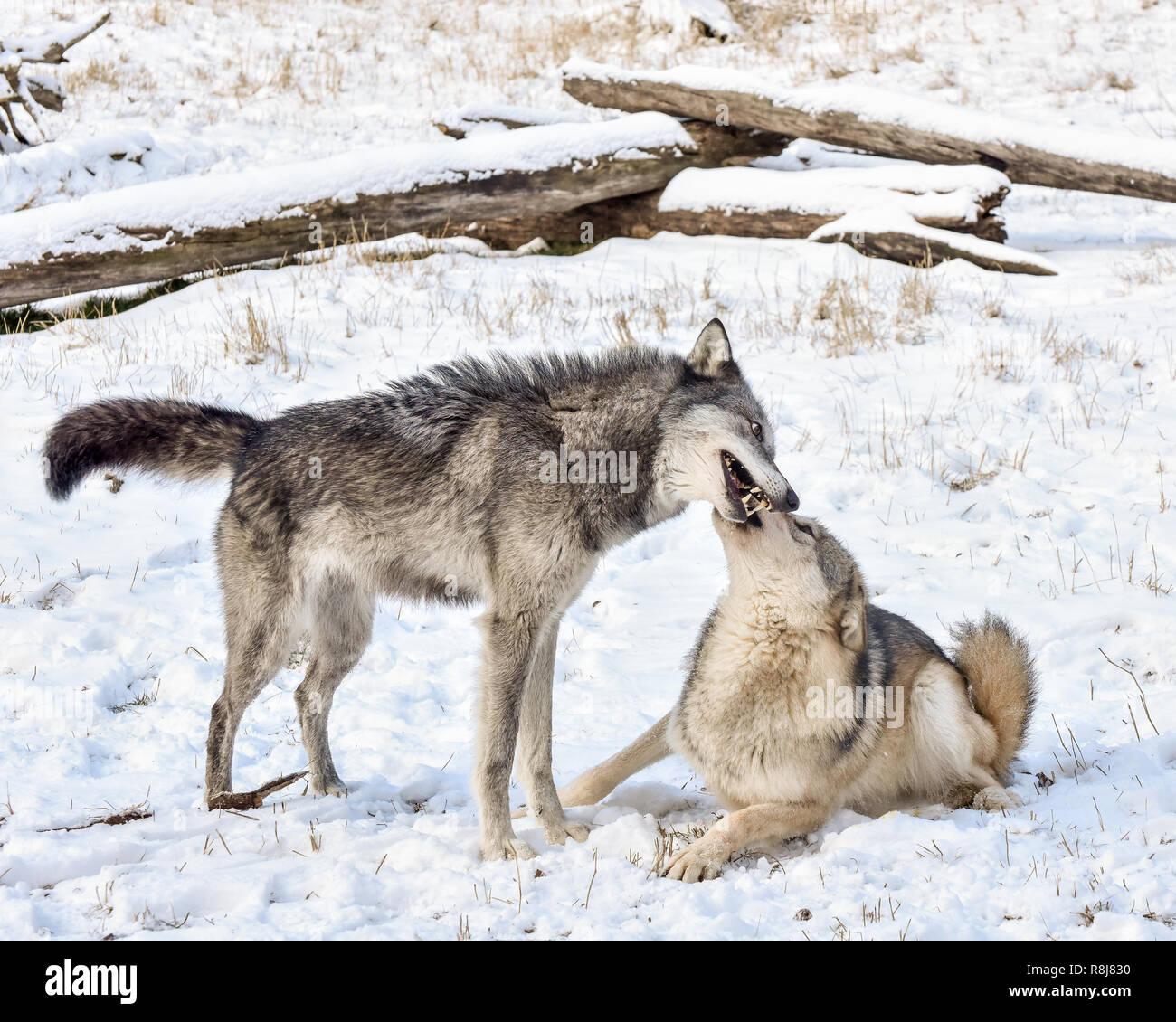 Tundra Wolf demonstrieren unterwürfig Verhalten zu männlichen Alpha im Winter Schnee Stockbild