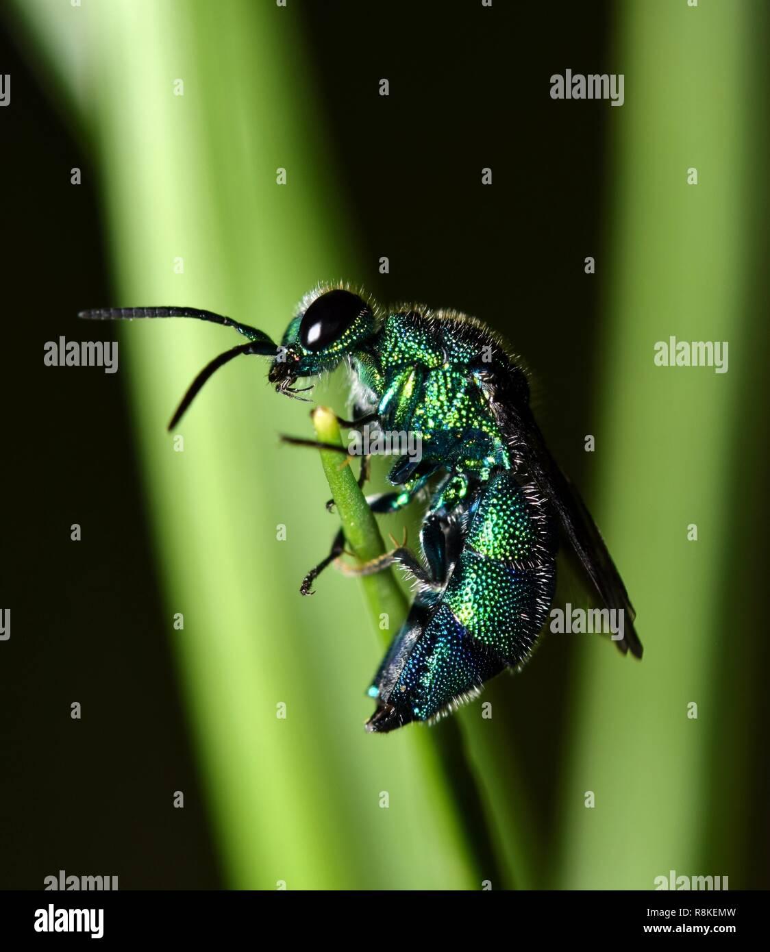 Ein kleiner Kuckuck Wasp nach von seinem Blatt Nest gestört zu werden. Es war flugunfähig und nicht schätzen es, in der Nacht gestört beim Versuchen zu schlafen. Stockbild
