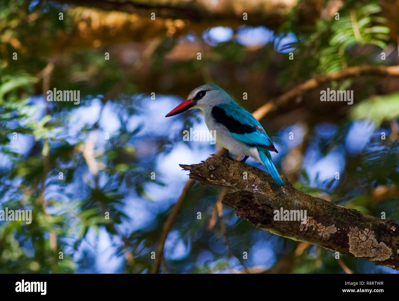 Eine gemeinsame und widspread Inter-afrikanischen Migranten die markanten Ruf der Wälder Kingfisher ist in einer Vielzahl von Lebensräumen gehört Stockbild