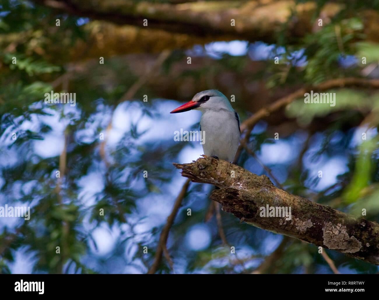 Eine häufige und weit verbreitete Inter-afrikanischen Migranten die markanten Ruf der Wälder Kingfisher ist in einer Vielzahl von Lebensräumen gehört Stockbild