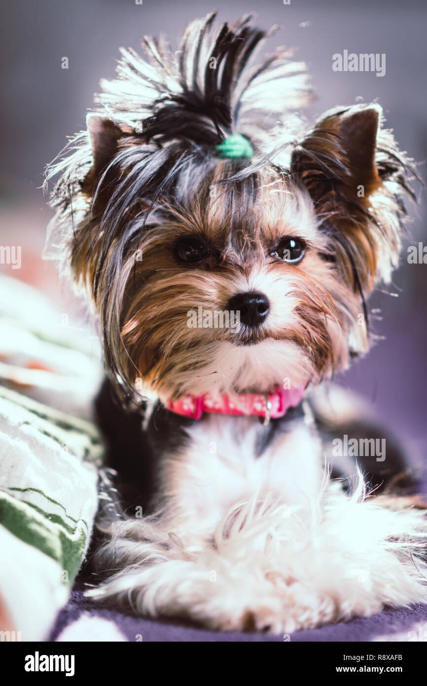 Susse Biewer Yorkshire Terrier Sitzen Oder Ruht Auf Einem Bett Hunde