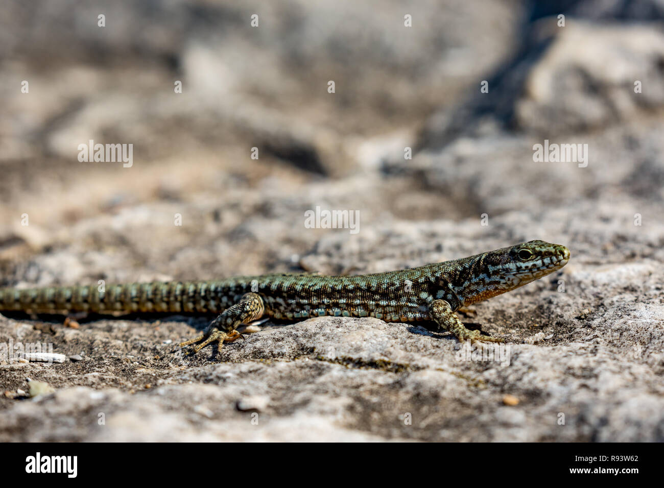 Mit selektiver Fokus auf die grünen und braunen Körper eine kleine Eidechse, die Sonne Wärme an einem sonnigen Herbsttag auf einem Felsen in Bulgarien Closeup Stockfoto