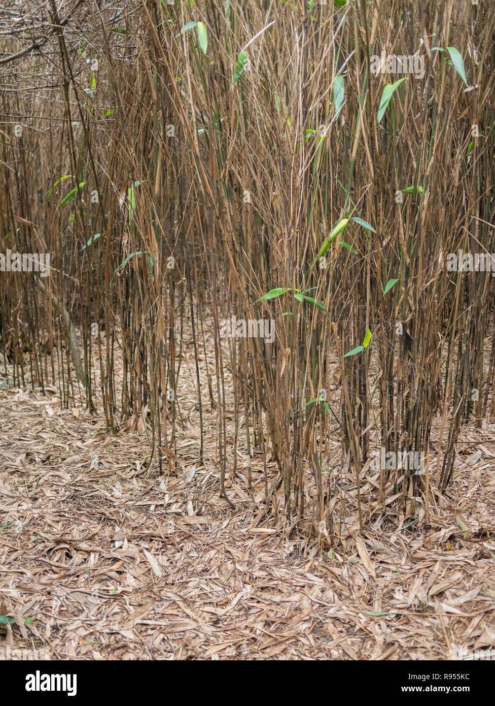 Bambus Hecke Arten Unsicher Eine Moglicherweise Fargesia Sp Mit