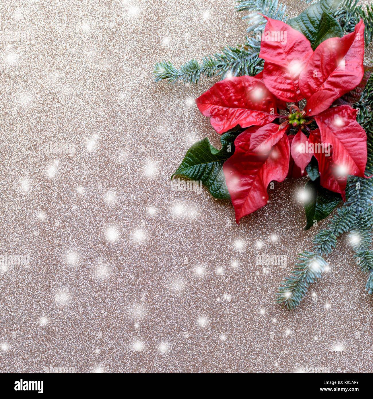 Weihnachtsstern Für Tannenbaum.Rot Weihnachtsstern Blume Mit Tannenbaum Und Schnee Auf Goldenen