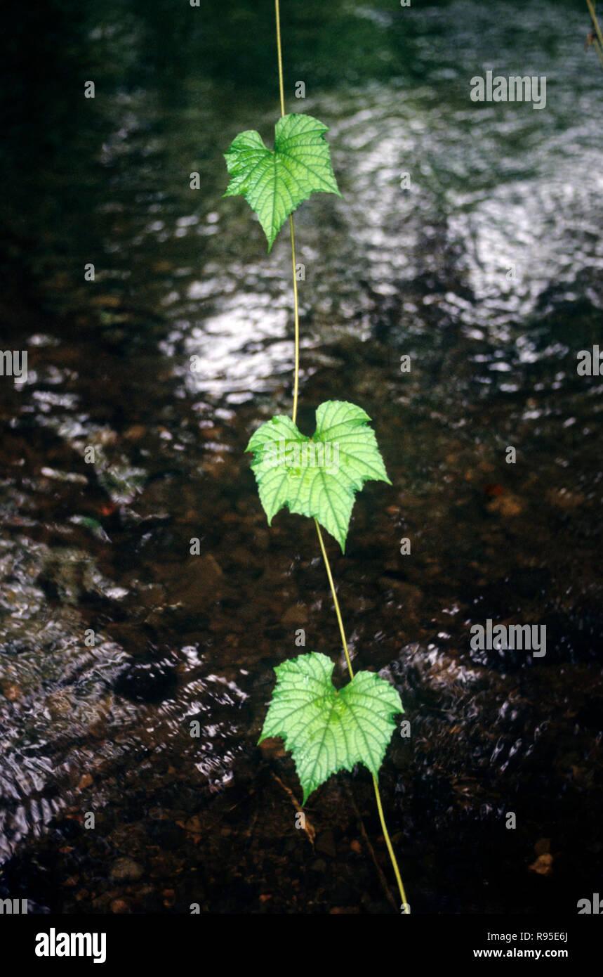 Konzept, Blätter, Indien Stockbild