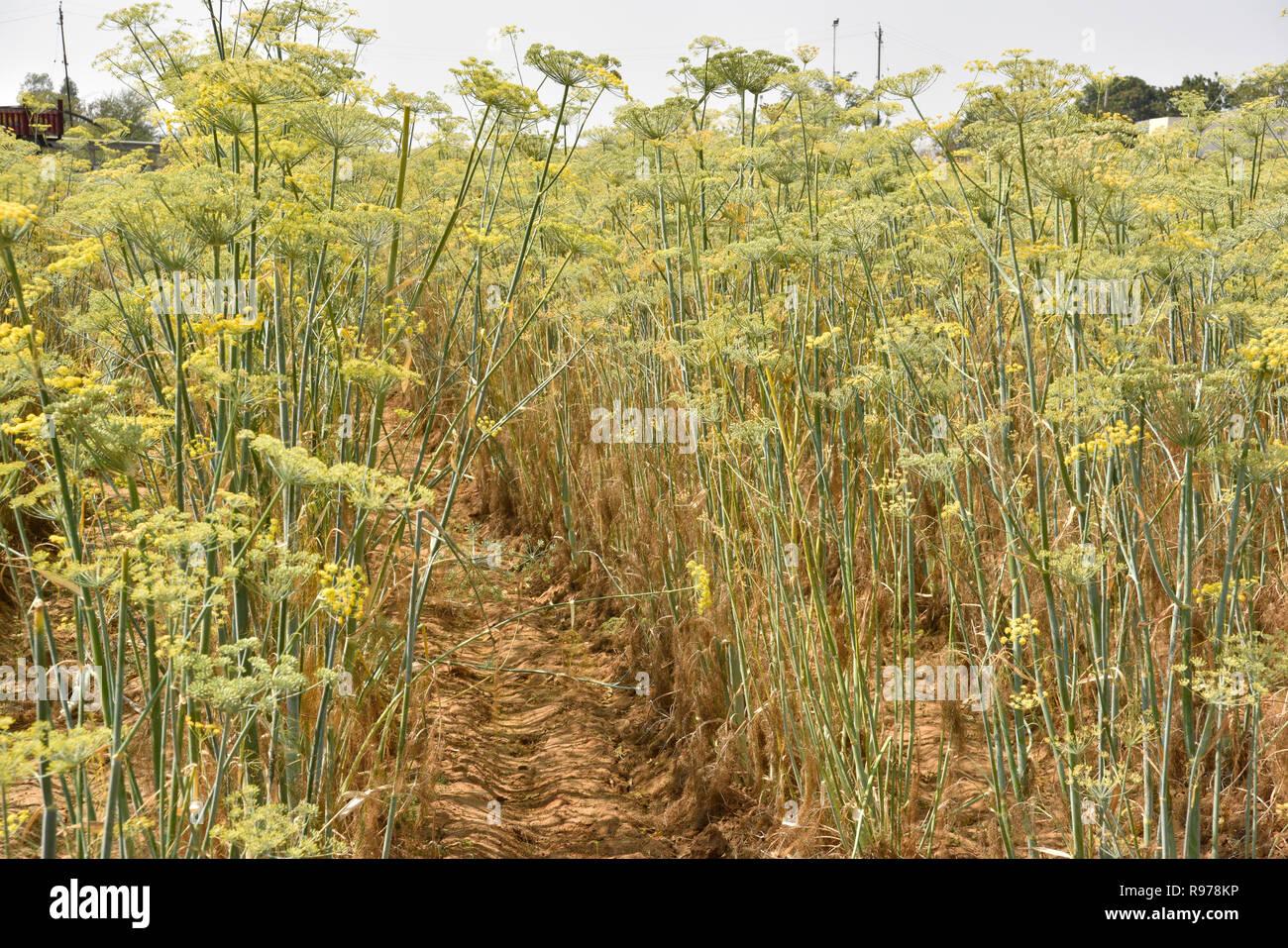 Gut organisierte Pimpinella Anisum anis Plantage in Gujarat Indien kultiviert bekannt als Variyali für Vielzahl von Unpäßlichkeiten essen Gewürz Kräuter verwendet. Stockbild