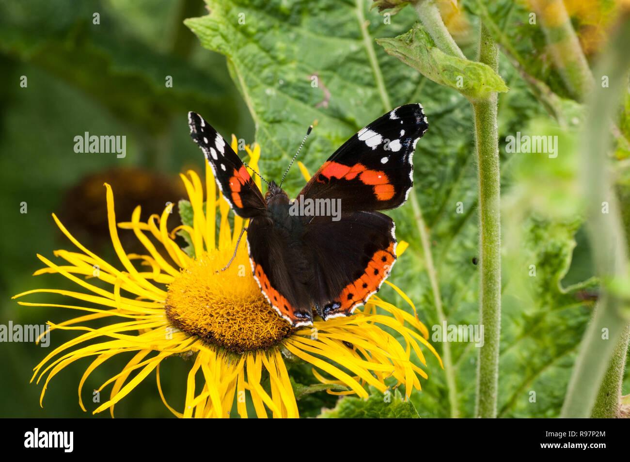 Eine Rote Admiral Schmetterling Futterung Auf Einem Gelben Inula