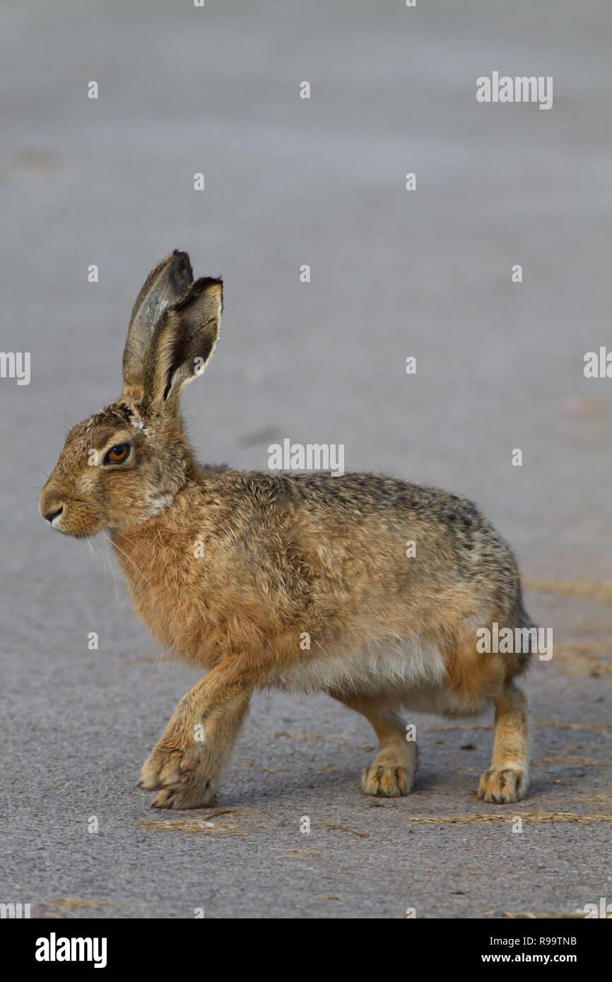 Europäische Hase oder Feldhase, Lepus europaeus, Großbritannien Stockbild