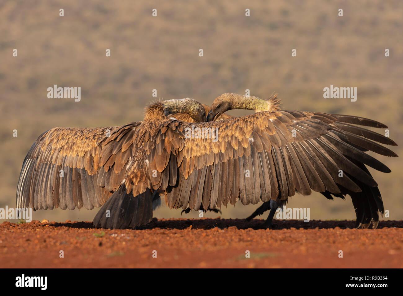 Whitebacked Geier (Tylose in Africanus) in Konfrontation, Zimanga Private Game Reserve, KwaZulu-Natal, Südafrika Stockbild