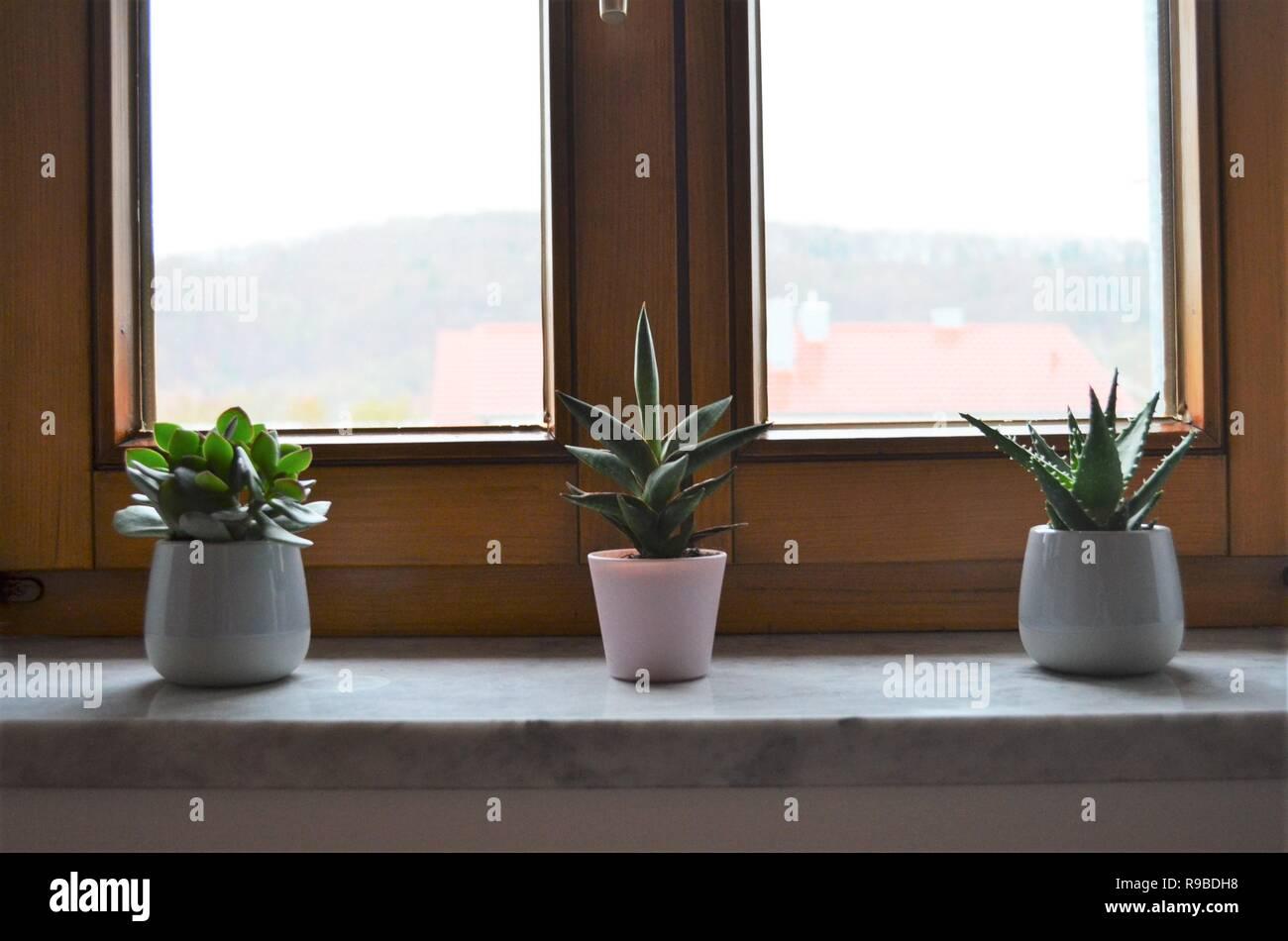 Drei Grune Kaktus Pflanzen Auf Der Fensterbank In Einer Reihe Als